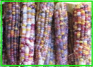 寶石玉米03