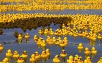 黃色小鴨行程表